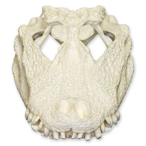 Replica Chinese Alligator Skull