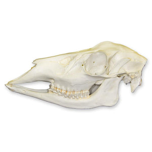 Replica Whitetail Deer Skull