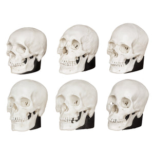 Replica Human Male and Female Skulls: African, Asian, and European Set