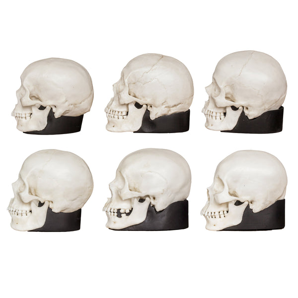 Replica Human Male and Female Skull Set: African, Asian, and European