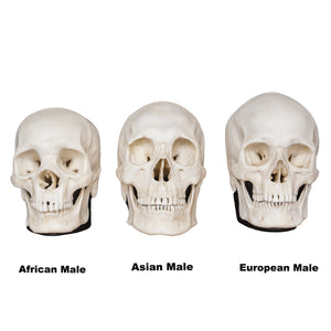 Replica Human Male Skull Set: African, Asian, and European