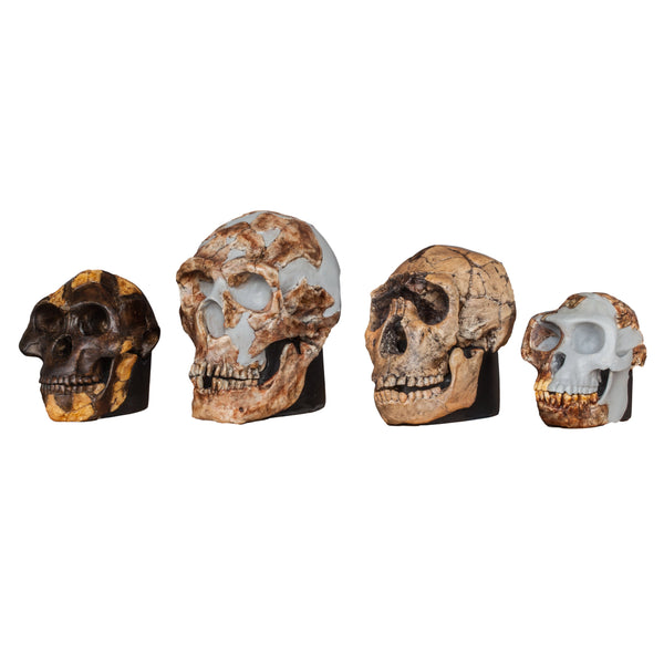 Replica Set of 4 Hominid Skulls, Half Scale