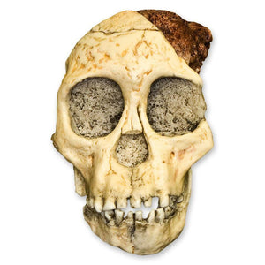 Replica Taung Child Skull (3 pieces)