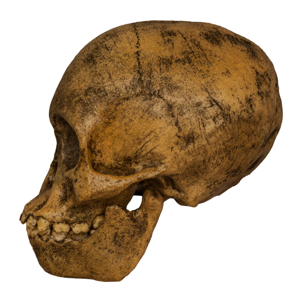 Replica Taung Child Skull (Reconstructed)