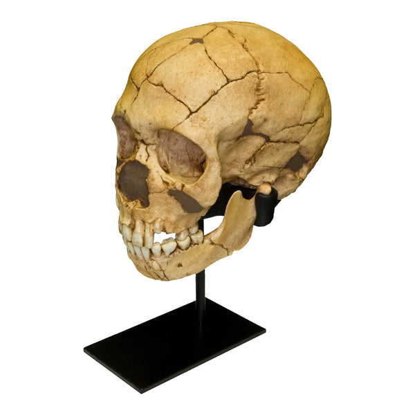 Replica Teshik-Tash Child Skull