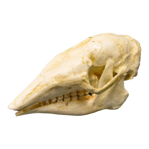 Replica Three-banded Armadillo Skull