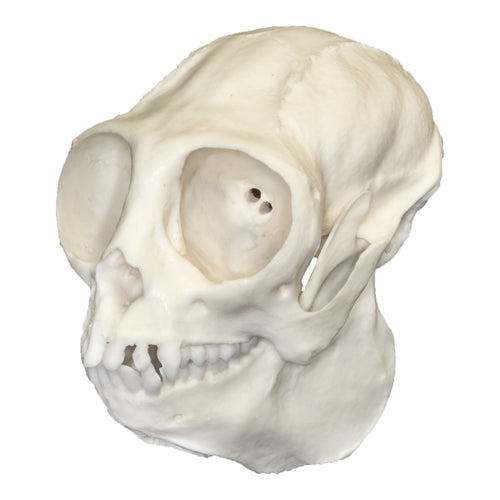 Replica Titi Monkey Skull