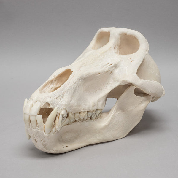 Real Chacma Baboon Skull (Male)