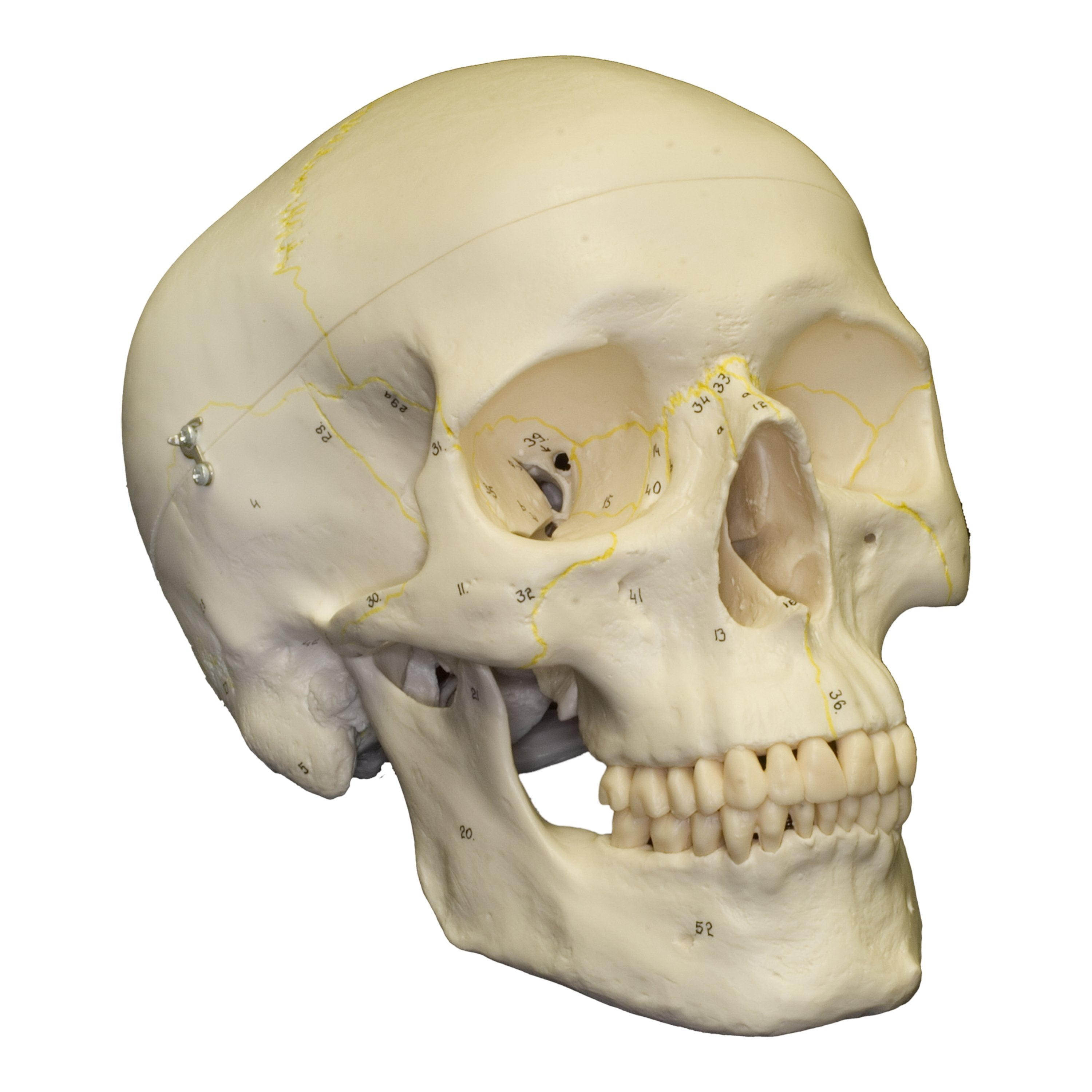 Replica Human Skull Numbered For Sale Skulls Unlimited