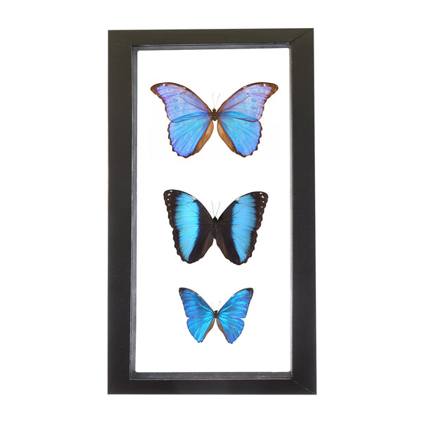 Real Insect of 3 Blue Morpho Butterflies Taxidermy in an Entomology Gallery Style Framed Display