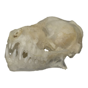 Real Javan Mastiff Bat Skull