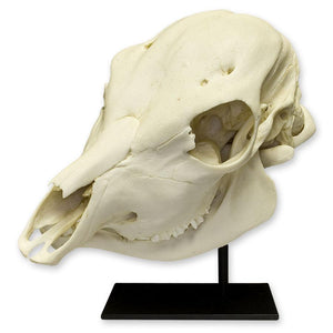 Replica Two-headed Calf Skull