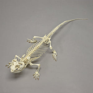 Real Bearded Dragon Skeleton - (Articulated)