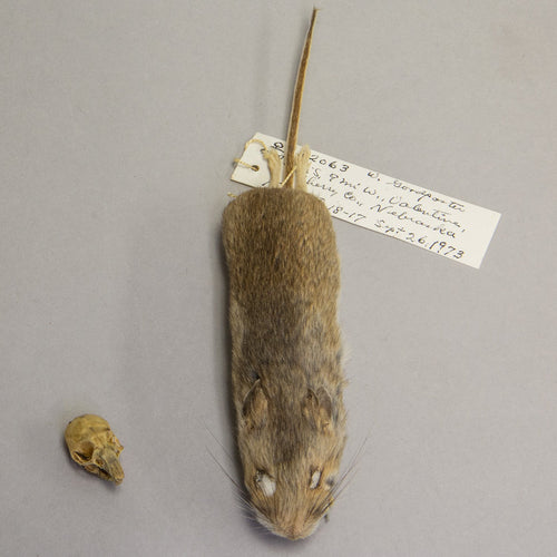 Real White-footed Mouse Study Skin and Skull
