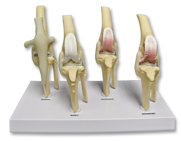 Replica Veterinary Canine Osteoarthritis Model - (Knee)