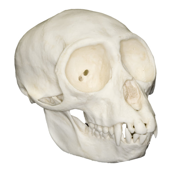 Replica Vervet Monkey Skull (Female)