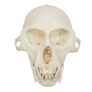 Replica Vervet Monkey Skull (Male)
