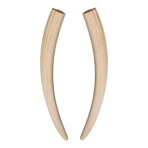 Replica Walrus Tusks