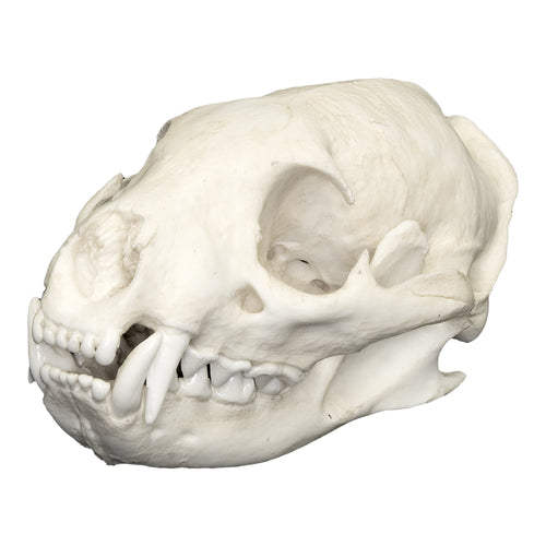Replica Water Mongoose Skull