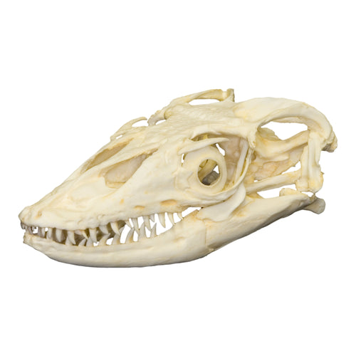 Replica Water Monitor Skull