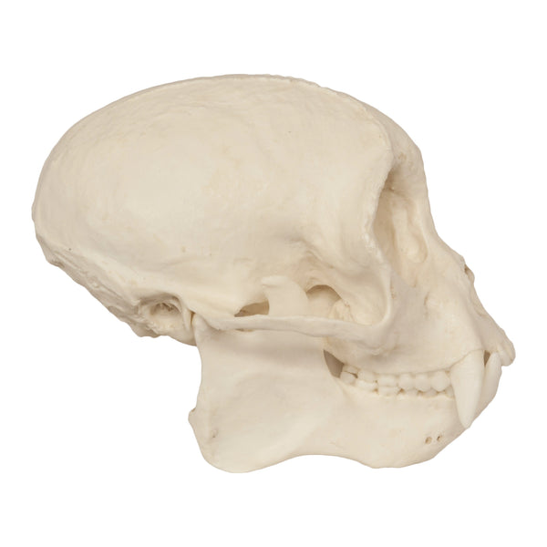 Replica Weeping Capuchin Monkey Skull