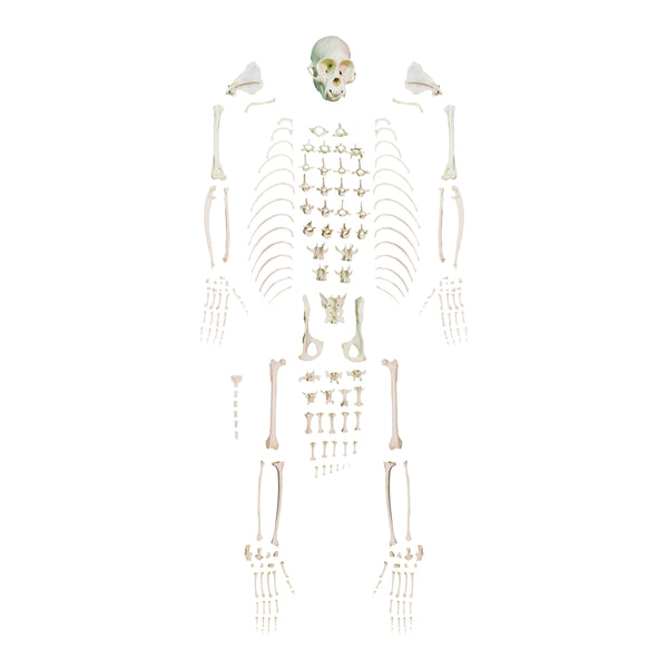 Replica Weeping Capuchin Monkey Skeleton