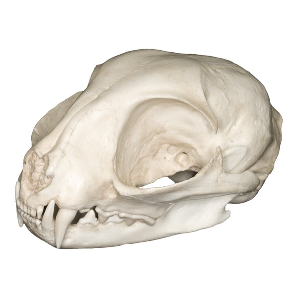 Replica Wildcat Skull