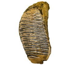 Replica Woolly Mammoth Tooth