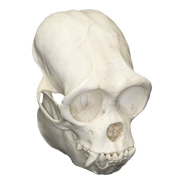 Replica Woolly Monkey Skull
