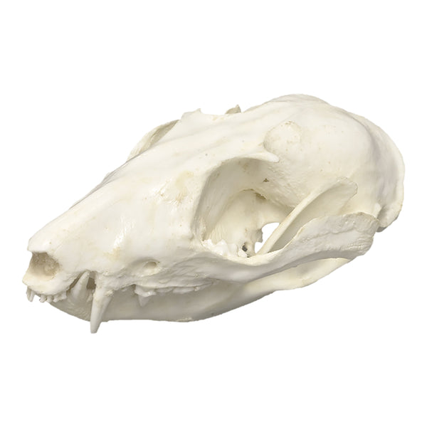 Replica Woolly Opossum Skull