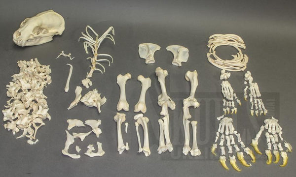 Real Badger Skeleton