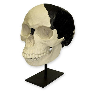 Replica Piltdown Man Skull