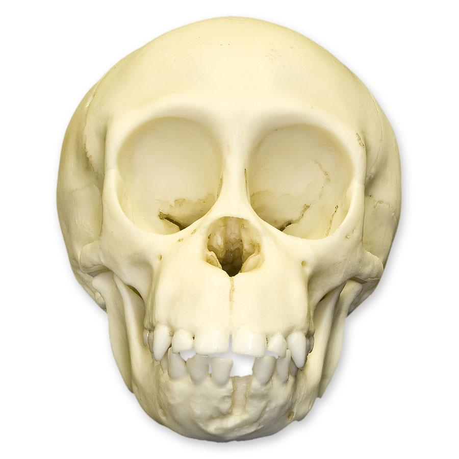 Replica Chimpanzee Infant Skull For Sale – Skulls Unlimited ...
