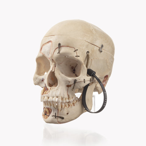 Human Products Skulls Unlimited International Inc