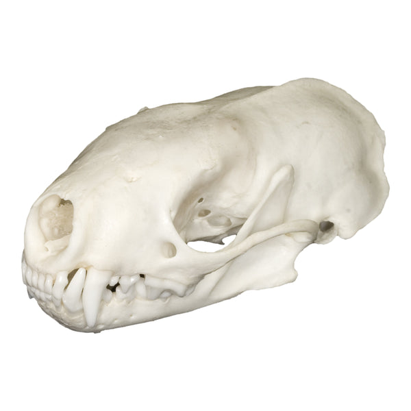 Real Western Spotted Skunk Skull