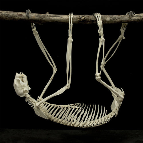 Real Sloth Skeleton - (Articulated)