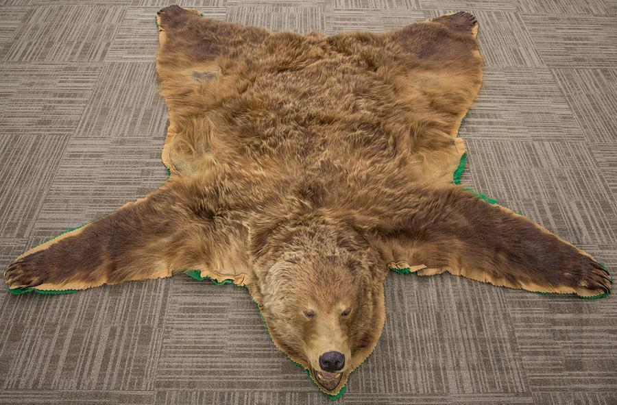 Real Authentic Grizzly Bear Rug