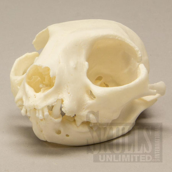 Real Domestic Cat Skull (Pathology)