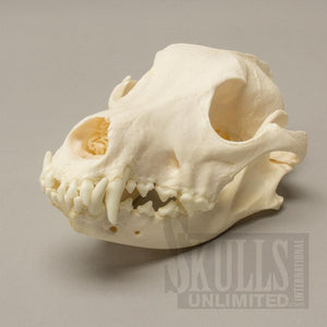 Real Domestic Dog Skull (Tooth Infection)
