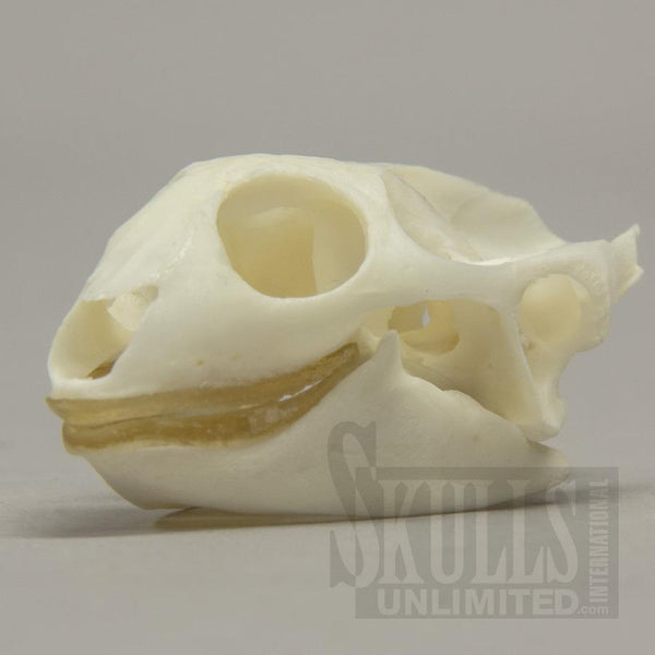 Real Florida Softshell Skull