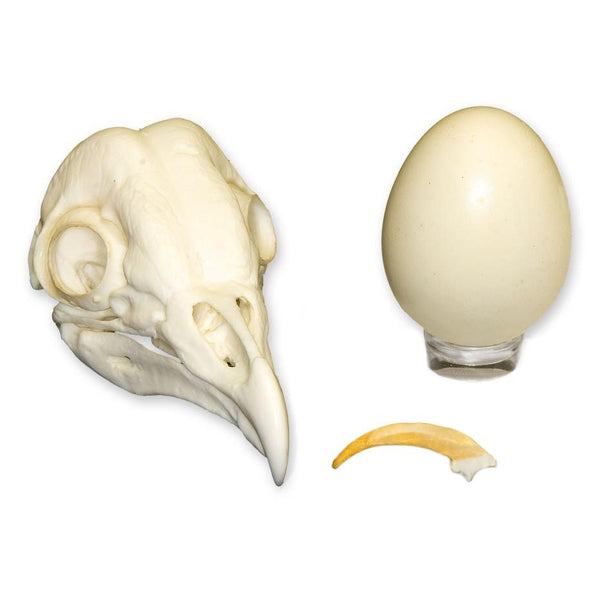 Replica Barn Owl Set (Skull, Talon, Egg)