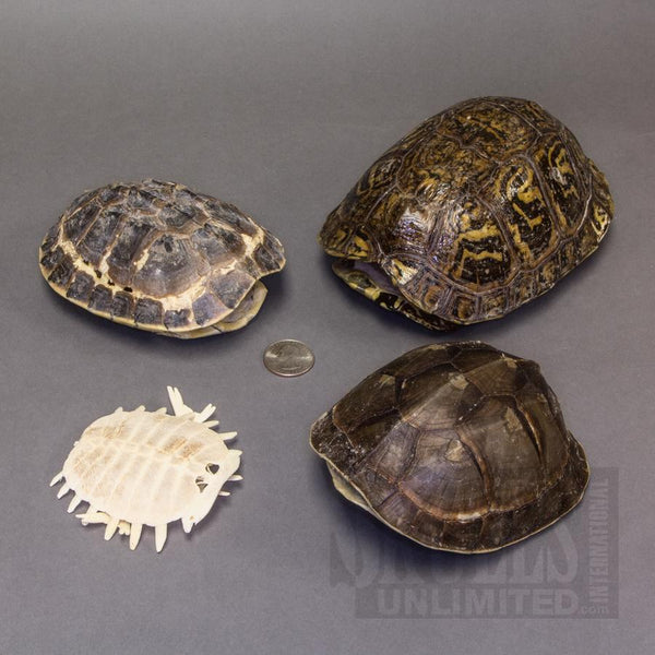 Real Assorted Turtle Shells