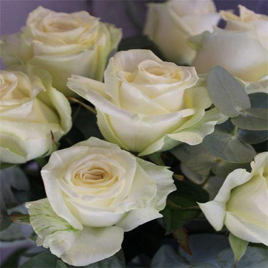 Twelve White Long Stem Roses Lavender and Grey