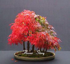 Rare Blue Maple Seeds Bonsai Tree Plants Pot Suit for DIY Home Garden Japanese Maple Seeds 20 Pcs / Kinds  Free Shipping - ShopNowBeforeYouDie.com