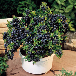 100 seeds/pack Blueberry seeds Bonsai Edible fruit seed, Indoor, Outdoor Available - ShopNowBeforeYouDie.com