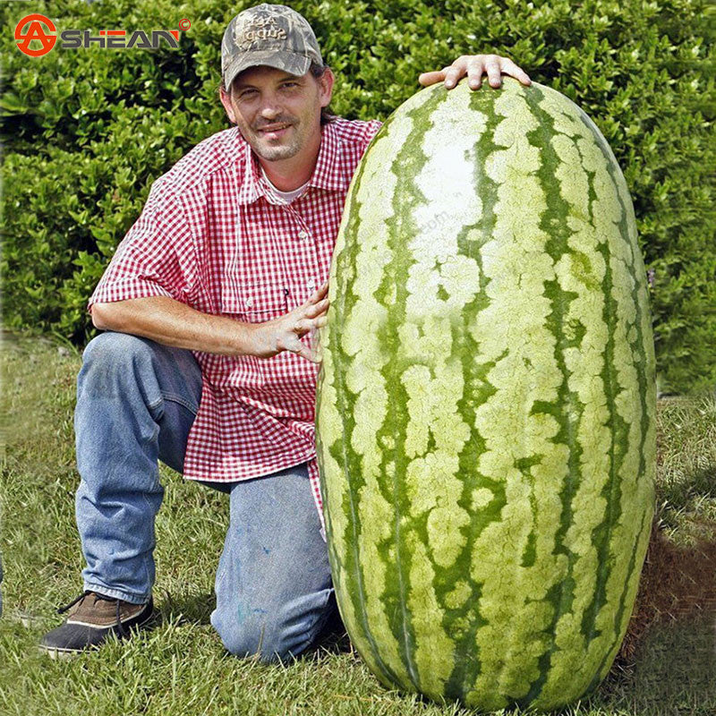 Fruit Seeds Giant Watermelon Seeds Very Giant Delicious Home Gardening 10 Particles / lot - ShopNowBeforeYouDie.com