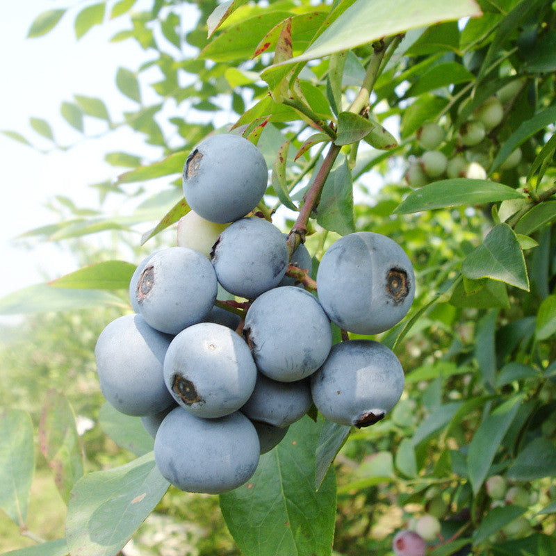 A Pack 200 Pcs Blomidon Blueberry Seed Windowsill Garden Terrace Roof Fruit Seed potted bonsai Tree Plant Vaccinium Seed - ShopNowBeforeYouDie.com