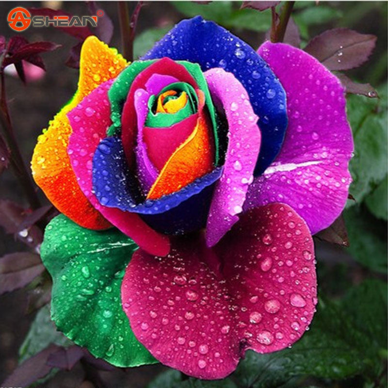 Rose Seeds Flower Colorful Rose Seeds   - 100 pcs seeds - ShopNowBeforeYouDie.com
