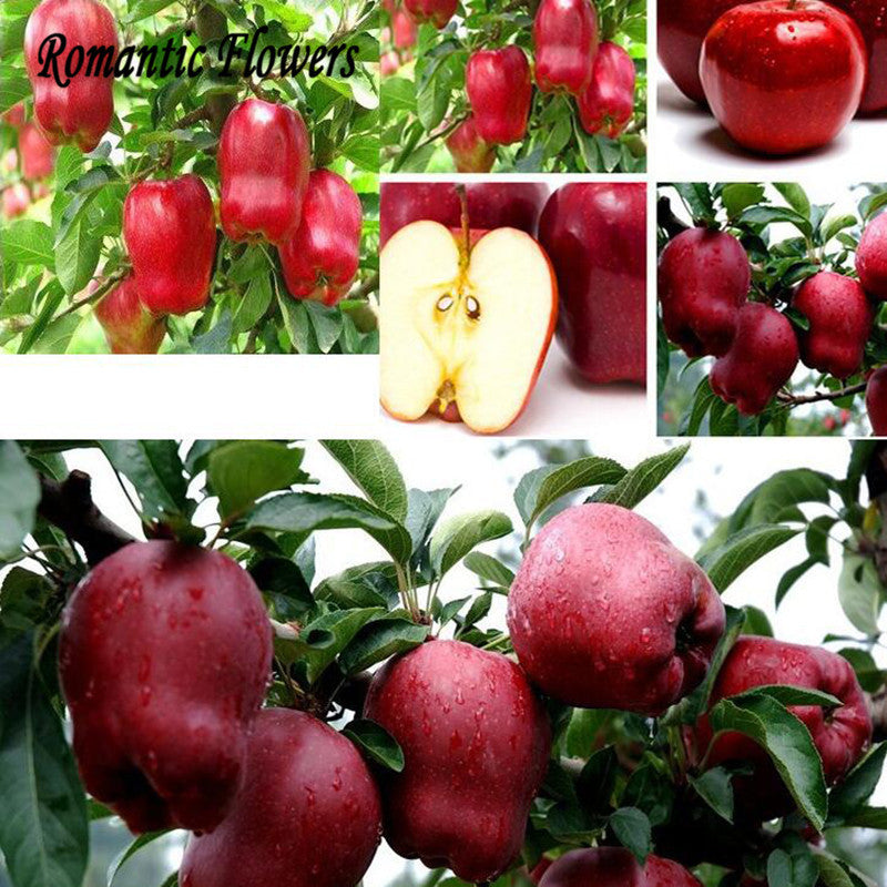 30pcs Apple Bonsai Fruit Trees Of Rare Bonsai Tree - America Red Delicious Apple Seed Planted Garden Pots - ShopNowBeforeYouDie.com