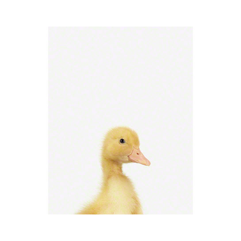 duckling-print